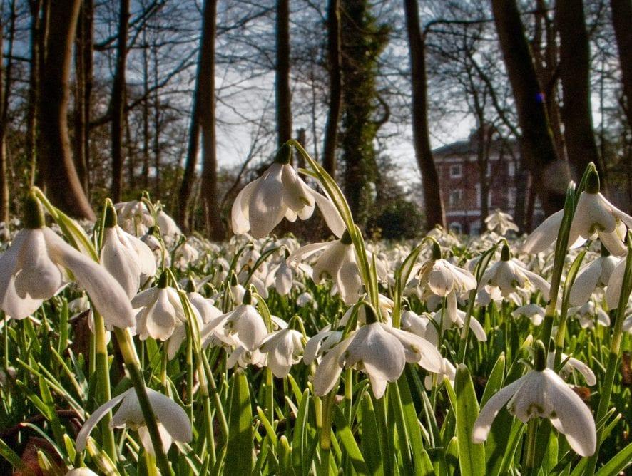 Snowdrop Seasonat Lytham Hall