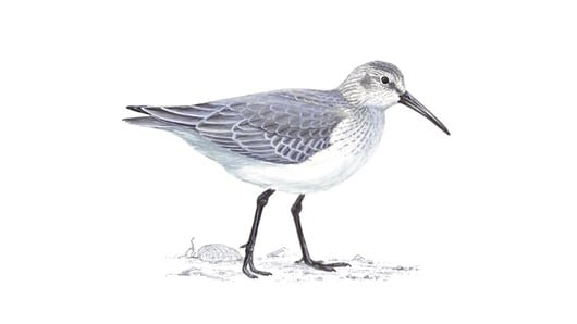 Dunlin, photo: RSPB, migrating birds