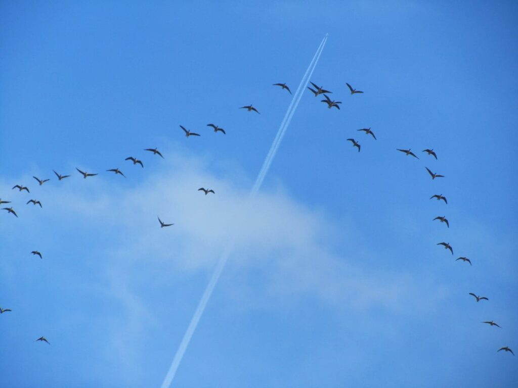 Pink footed geese arriving at River Ribble, one type of migrating birds