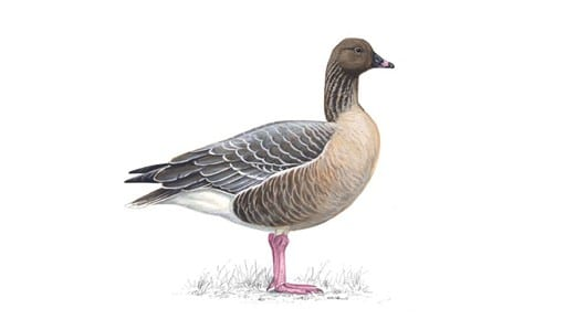 Pink footed goose, photo: RSPB, migrating birds