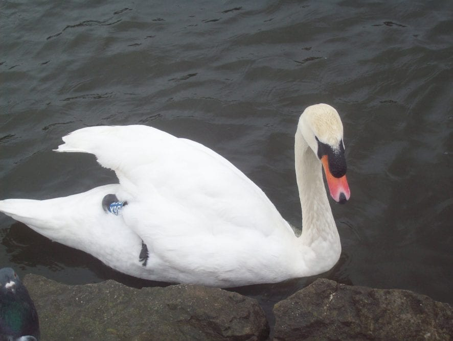 One swan-a-swimming by Julie Sidderley